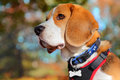 Fall beagle dog beautiful autumn portrait wearing a blue collar and black harness with red trim Royalty Free Stock Image