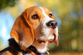 Fall beagle dog pet outdoors in Royalty Free Stock Photography