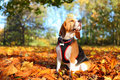 Fall beagle dog pet sitting outdoors in Royalty Free Stock Images
