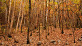 Fall birch trees the with autumn leaves in background Stock Photos