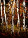 Fall Birch Trees Royalty Free Stock Photo