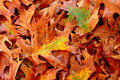 Fall brown oak leaves Royalty Free Stock Photo