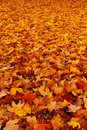 Fall - Carpet of Autumn Leaves Stock Images
