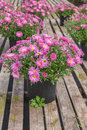 Fall chrysanthemum potted perennial garden asters or in a retail greenhouse or nursery Stock Photos