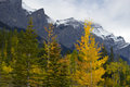 Fall color in canadian rockies aspen trees turn into bright yellow with ha ling peak the background Stock Photos