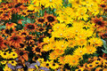 Fall color, rudbeckia flowers Royalty Free Stock Photography