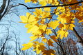 Fall colored leaves tree Royalty Free Stock Photo
