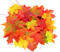 Fall colored maple leaves Royalty Free Stock Photo