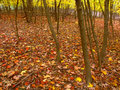 Fall colors in illinois beautifully colored leaves cover a woodland at kishwaukee gorge forest preserve northern Stock Photo