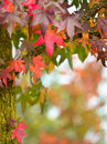 Fall concept vibrant colored autumn leaves on the branches of a tree with shallow depth of field Stock Image