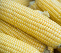 Fall corn on the cob Stock Photos