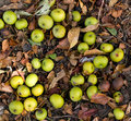 Fall Crab Apples On The Forest...