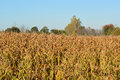 Fall crop pre harvest golden corn field on a day Royalty Free Stock Image