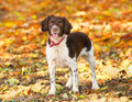 Fall dog liver and white english springer spaniel in the Royalty Free Stock Photography