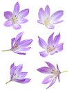 Fall flowers violet crocus flowers isolated on white background Royalty Free Stock Image