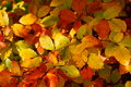 Fall foliage auburn colors the vibrant autumnal of beech leaves shiny in the sunlight Stock Photos