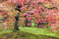 Fall foliage of japanese maple tree color lace leaf closeup Stock Photography