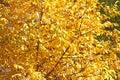 Fall Foliage Leaves Depend Run Autumn Walnut tree Leaves. Beautiful autumn landscape with yellow trees and sun. Colorful foliage i Royalty Free Stock Photo