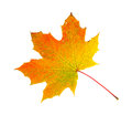 Fall foliage maple leaf Royalty Free Stock Photo