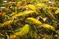 Fall foliage close-up Royalty Free Stock Photo