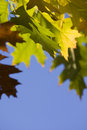Fall gold leafs Royalty Free Stock Photo