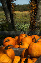 Fall harvest pumpkins Royalty Free Stock Photos