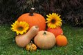 Fall harvest of pumpkins. Royalty Free Stock Photo