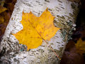 Fall leaf on birch Royalty Free Stock Photo