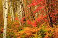 Fall leaf color in the Wasatch Mountains. Royalty Free Stock Photo