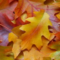 Fall leaves background stock photos yellow autumn oak leaf on orange backdrop Royalty Free Stock Photography
