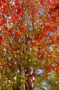 Fall leaves a bright image of orange red and green Royalty Free Stock Images