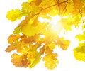 Fall leaves oak Royalty Free Stock Photo