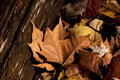Fall leaves and old wood golden bronze leafs lie on an tree trunk in the woods Royalty Free Stock Photo