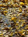 Fall leaves in a pond. Stock Photography