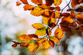 Fall leaves rusty on tree branch Stock Photography