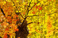 Fall leaves sunny sun shining through bright maple green orange yellow red Stock Image