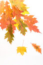 Fall leaves & white background Royalty Free Stock Images