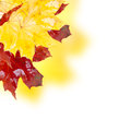 Fall leaves yellow and red maple isolated on white background Royalty Free Stock Photo