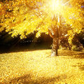 Fall light sunlight shining through autumn tree Stock Photography