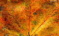 Fall maple leaf texture close up view of autumn Stock Photography