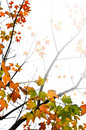 Fall maple leaves background Royalty Free Stock Images