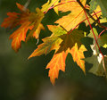 Fall maple leaves colorful autumn macro Stock Images