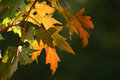 Fall maple leaves red gold and green against a dark blurred background Royalty Free Stock Image