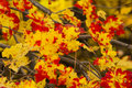 Fall maple leaves in transition beautifully speckled yellow and red on branches Stock Photos