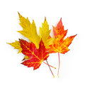 Fall maple leaves on white Royalty Free Stock Photo