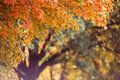 Fall maple tree background with shallow depth of field Royalty Free Stock Images