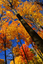 Fall maple trees Royalty Free Stock Image