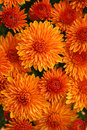 Fall Mums Royalty Free Stock Photography