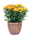 Fall mums flowers in clay pot separated on white background Stock Image