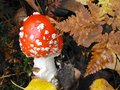 Fall mushroom amidst foliage after rain Royalty Free Stock Image